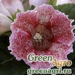 "Глоксиния гибридная (Sinningia hybrida) ""Empress F1"" (red spotted) pelleted 1000 шт."