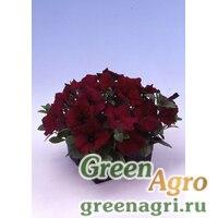 "Петуния многоцветковая (Petunia multiflora) ""Lambada F1"" (burgundy) raw 1000 шт."