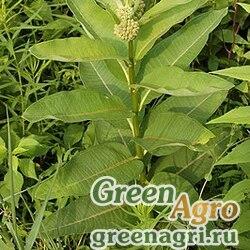 Ваточник сирийский (Asclepias syriaca) 100 гр.