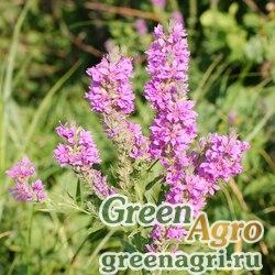 """Дербенник иволистный (Lythrum salicaria) """"Rosy Gem"""" 20 гр."""