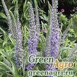 Вероника длиннолистная (Veronica longifolia) 20 гр.