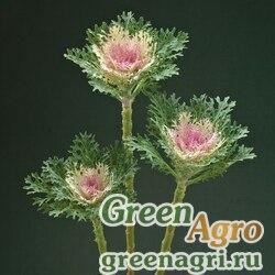 "Капуста декоративная (Brassica oleracea) ""Crane F1"" (feather king) raw 1000 шт."
