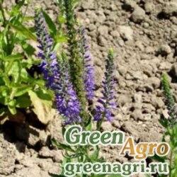 Вероника колосистая (Veronica spicata) (blue shades) 30 гр.