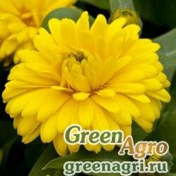 "Календула лекарственная (Calendula officinalis) ""Costa"" (yellow) raw 1000 шт."