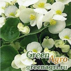 "Бегония вечноцветущая (зеленая листва) (Begonia semperflorens) ""Bada Bing F1"" (white) raw 1000 шт."