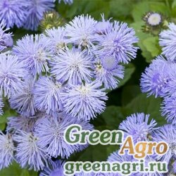 "Агератум мексиканский (Ageratum houstonianum) ""Leda"" (blue white bicolor) 15 гр."
