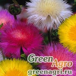 Василек мускусный (Centaurea moschata (Amberboa)) (imperialis mix) 50 гр.