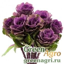"Капуста декоративная (Brassica oleracea) ""Crane F1"" (ruby) raw 1000 шт."