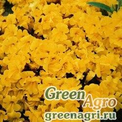 "Губастик гибридный (Mimulus x hybrida) ""Magic F1"" (yellow) raw 1000 шт."