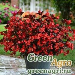"""Бегония гибридная (бронзовая листва) (Begonia hybrida) """"Megawatt F1"""" (red bronze leaf) pelleted 100 шт."""