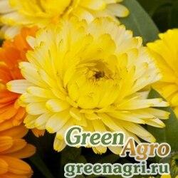 "Календула лекарственная (Calendula officinalis) ""Costa"" (light yellow) raw 1000 шт."