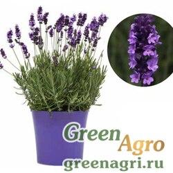 "Лаванда узколистная (Lavandula angustifolia) ""Avignon Early"" (blue) raw 1000 шт."