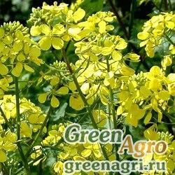 Сидераты Горчица белая 25 кг Зеленый уголок