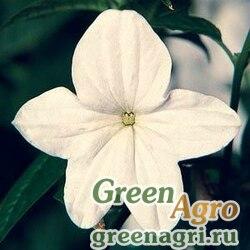 "Броваллия изящная (Browallia speciosa major) ""Bells"" (silver) raw 1000 шт."