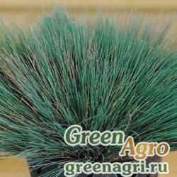 "Булавоносец седой (Corynephorus canescens) ""Spiky Blue"" (blue green) multi-pelleted 1000 шт."