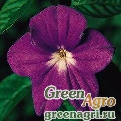 "Броваллия изящная (Browallia speciosa major) ""Bells"" (marine) raw Произв. 1000 шт."