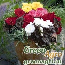 """Бегония клубневая махровая (Begonia tuberhybrida) """"Nonstop Mocca F1"""" (mix) raw 1000 шт."""