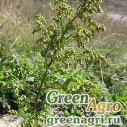 Полынь однолетняя (Artemisia annua) raw 1000 шт.