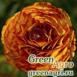 """Лютик азиатский (Ranunculus asiaticus) """"Magic F1"""" (chocolate) pelleted 100 шт."""