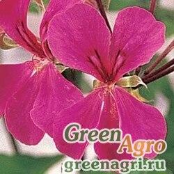 """Пеларгония плющелистная (Pelargonium peltatum) """"Summer Showers F1"""" (rose) raw 100 шт."""