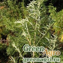 Полынь теневая (Artemisia umbrosa) 2 гр.