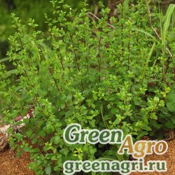 Полынь Кейске (Artemisia keiskeana) гр 2 гр.