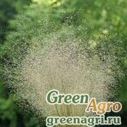 Полевица ажурная (Agrostis nebulosa) гр 15 гр.