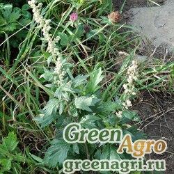 Полынь побегоносная (Artemisia stolonifera) гр 2 гр.