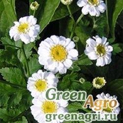 "Пиретрум девичий (Chrysanthemum parthenium) ""White Stars"" (белый) 10 гр."