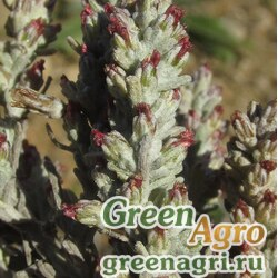 Полынь Лерха (Artemisia lercheana) гр 2 гр.