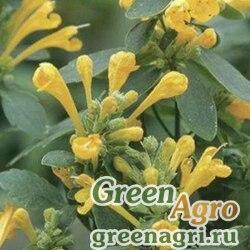 "Многоколосник гибридный (Agastache hybrida) ""Arizona"" (sun) raw 1000 шт."