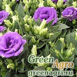 "Лизиантус (Эустома) крупноцветковый (Lisianthus grandiflorum) ""Rosie F1"" (lilac) pelleted 1000 шт."