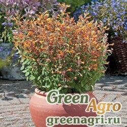 "Многоколосник гибридный (Agastache hybrida) ""Arizona"" (sandstone) raw 1000 шт."