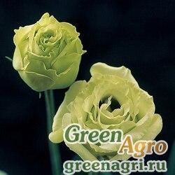 "Лизиантус (Эустома) крупноцветковый (Lisianthus grandiflorum) ""Croma III F1"" (yellow) pelleted 1000 шт."