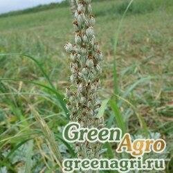 Полынь Стеллера (Artemisia stelleriana) гр 3 гр.