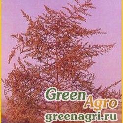 Полынь веничная (Artemisia scoparia) гр 2 гр.