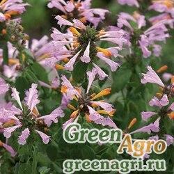 "Многоколосник гибридный (Agastache hybrida) ""Arizona"" (sunset) raw 1000 шт."