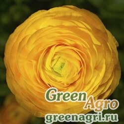 "Лютик азиатский (Ranunculus asiaticus) ""Magic F1"" (yellow improved) pelleted 100 шт."