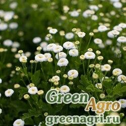 """Пиретрум (пижма) девичий (Tanacetum parthenium) """"Vegmo"""" (snowball extra) pelleted 1000 шт."""