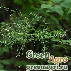 Полынь лесная (Artemisia sylvatica) 2 гр.