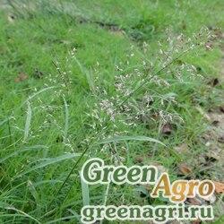 Полевичка ржавая (Eragrostis ferruginea) 1 гр.