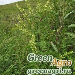 Полынь Гмелина (Artemisia gmelinii) гр 5 гр.