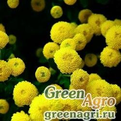 "Пиретрум девичий (Chrysanthemum parthenium) ""Golden Ball"" (gold) гр 10 гр."