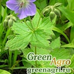 Герань волосистотычинковая (Geranium eriostemon) 3 г
