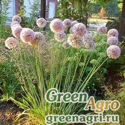 Лук стареющий  (Allium senescens) 5 г