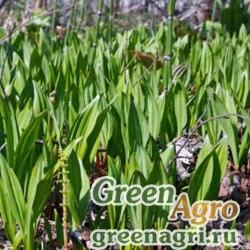 Лук камчатский (Allium kamtchaticum) 5 г