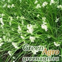 "Ожика снежно-белая (Luzula nivea) ""LUCIUS"" (GREEN) multi-pelleted 100 шт."