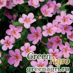 "Бакопа (Сутера) сердцевидная (Sutera (Bacopa) cordata) ""Pinktopia"" (pink) multi-pelleted 100 шт."