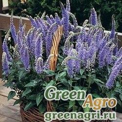 "Вероника колосистая (Veronica spicata) ""Blue Bouquet"" (blue) pelleted 1000 шт."
