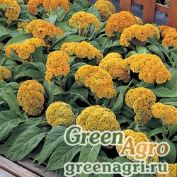 "Целозия гребенчатая (Celosia cristata) ""Armor"" (yellow) raw 1000 шт."